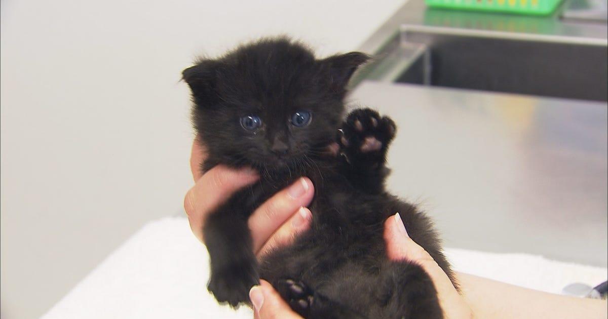 kitten walks funny