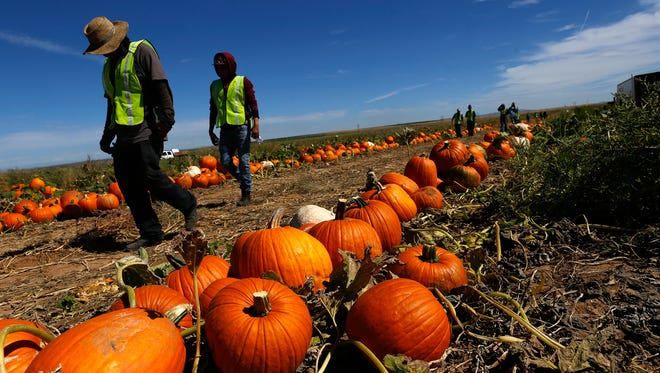 Pumpkin Patch Fundraisers workers prepare to harvest pumpkins Sept. 28 at a Navajo Agricultural Products Industry farm site south of Farmington.