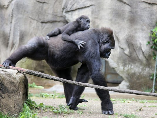 May 11, 2016. Cincinnati Zoo and Botanical Garden, Gorillas, Liz Dufour