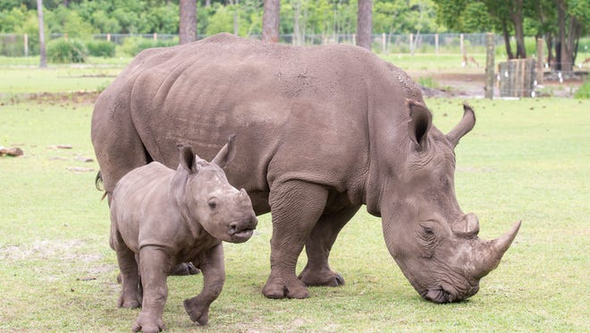4-month-old Southern White Rhino calf Katana sticks near her mother Katie as she enjoys an alfalfa snack at the Gulf Breeze Zoo in Gulf Breeze on Thursday, May 17, 2018.  Katana, who was born at the zoo on January 20, 2018, is making her public debut.
