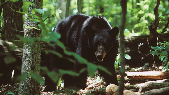 Rangers in Great Smoky Mountains National Park have closed some trails due to aggressive bear activity.