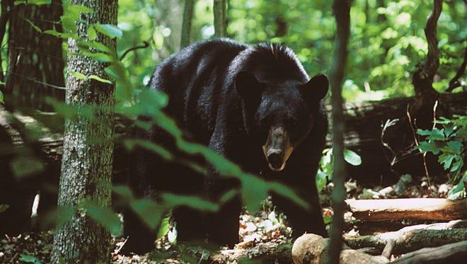 Bear hunting season in North Carolina's mountains runs Oct. 14-Nov. 23, 2019, and Dec. 16, 2019-Jan. 1, 2020.