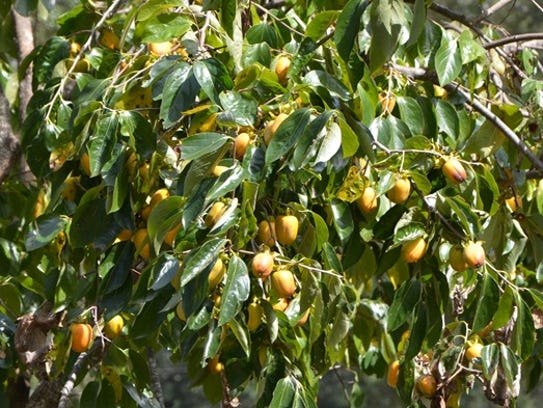 Persimmon trees can be incorporated into the top layer