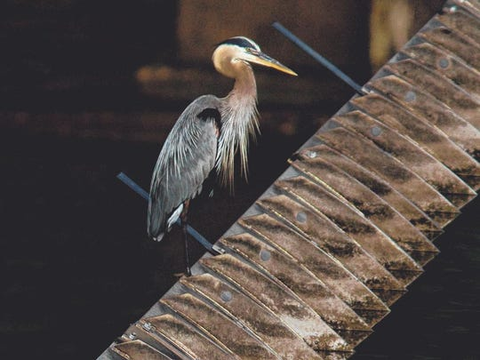 A great blue heron sits perched on a gate at the Powersite Dam on Lake Taneycomo.