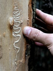 """The """"gallery"""" track created by an emerald ash borer in the larvae stage shows its eating pattern beneath the bark of a dead ash tree on Butterville Road in New Paltz."""