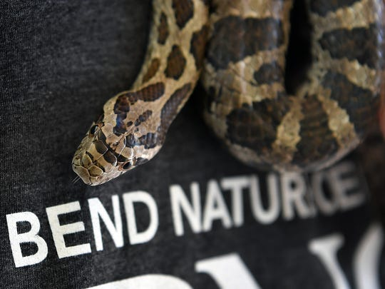 In this file photo, Falcor is a Great Plains Rat Snake, one of six species of non-venomous snakes on display at the River Bend Nature Center Education Center. The center was awarded a Texas Parks and Wildlife Department CO-OP grant for just over $10,000 for a program which allowed area students to study data about the Wichita River, surrounding plant and animal life.