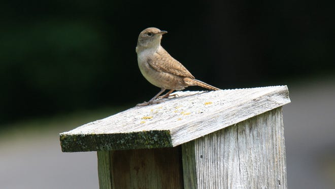 The common house wren may be cute and friendly, but there is also a nasty side to this bird.