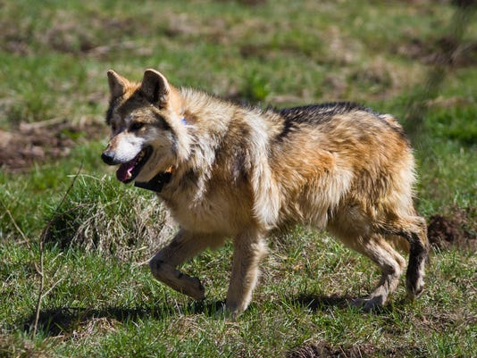 Mexican Grey Wolf Release