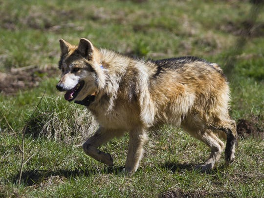 A male Mexican gray wolf wanders inside a holding pen