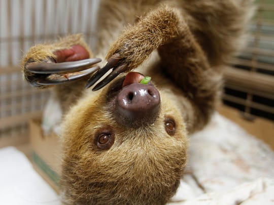 Sid the two-toed sloth munches on a green bean at the Shell Factory's nature park.