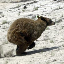 New York Times: Nevada bears wake up early because it's just too hot to sleep