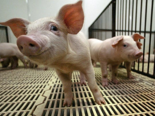 Canadian baby pigs arrive at a farm near Collins, Iowa,