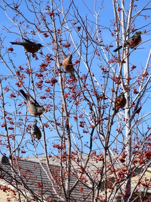 Robins feats on berries of a Hawthorn tree.