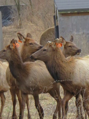 28 elk have been captured in Tennessee and likely will be transported to Wisconsin in June 2015.