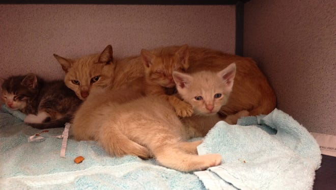 A mother and her kittens rescued from a Greenburgh house.
