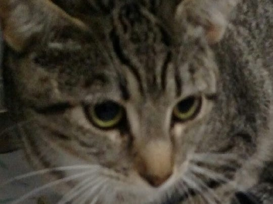 This 2-year-old domestic short haired mixed female