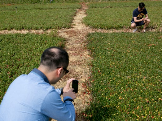 Hendry Chen, left, takes a photo of Joe Lee, right, as he looks at the cranberries in an experimental bed that Rutgers University has at Elm Lake Cranberry Company in the town of Cranmoor, Wednesday, Aug. 27, 2014. Chen and Lee are part of a group of buyers from China that the Wisconsin Department of Agriculture brought in to see the cranberry industry.