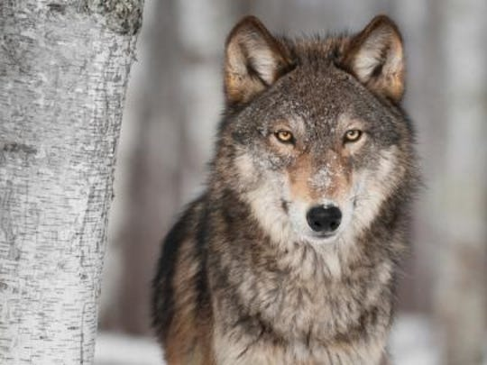 Farms that see the most wolf-livestock conflict tend to be located near large blocks of public land like the Chequamegon-Nicolet National Forest.