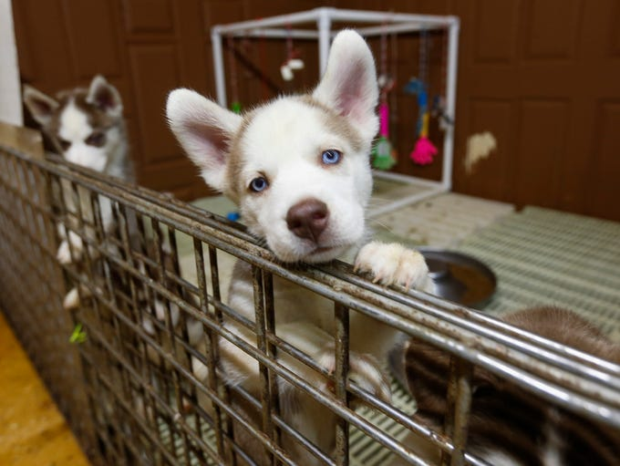 Husky puppies play in an open pen inside of Ann Quinn's
