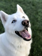 Ghost is a gorgeous 2-year-old, neutered male husky.