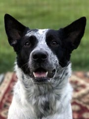 Pepper is a beautiful adult, spayed female cattle dog.