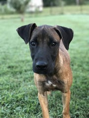 Cagney is a 5-month-old, spayed-female hound mix. She