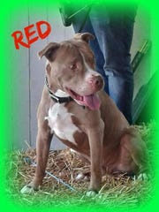 Red is an adult, neutered-male pit bull terrier. He