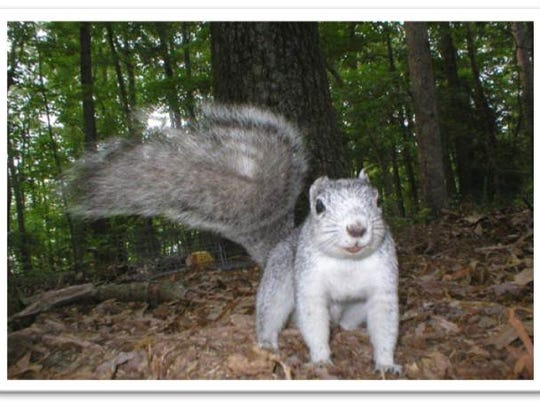 Delmarva Fox Squirrels are bigger and more silvery that gray squirrels that are common in Delaware. This one was photographed with a wildlife camera at Prime Hook National Wildlife Refuge.