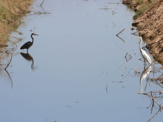Birds hunt in a canal near the Salton Sea.