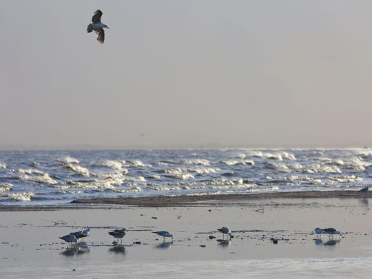 Gulls forage along the shoreline of the Salton Sea during a windy day in May 2016.