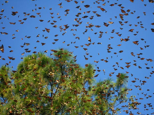 Monarch butterflies flock by the millions to an over-wintering site in Mexico in this undated photo by Elizabeth Howard.