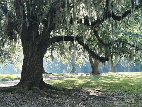 A tree draped in Spanish moss is a familiar and beautiful