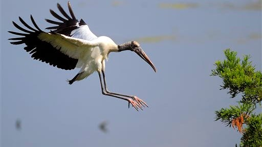 """An adult wood stork lands on a branch during a tour by U.S. Interior Secretary Sally Jewell in Townsend, Ga., Thursday. Jewell announced Thursday that the federal government is upgrading the wood stork to a """"threatened"""" species, a step up from endangered that indicates the birds are no longer considered at risk of extinction."""