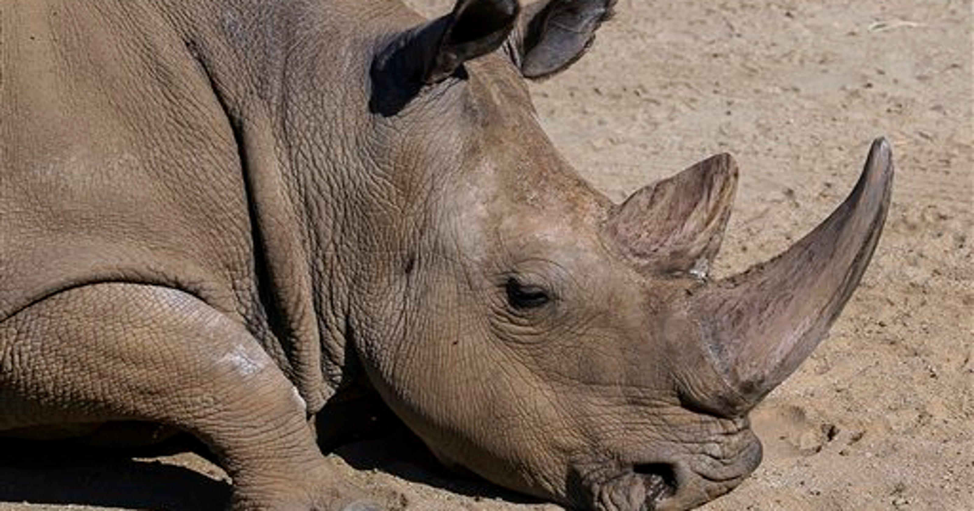 Rare northern white rhino dies, only 5 left in world