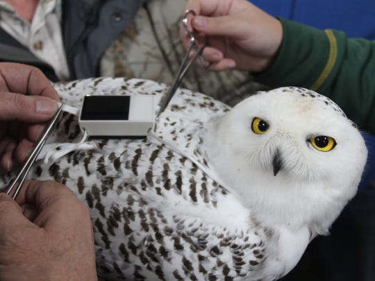 Researchers with Project SNOWstorm adjust the harness of a GPS transmitter on a snowy owl captured in Suamico, Wis. The solar-powered transmitters allow precise tracking of the bird's movements.