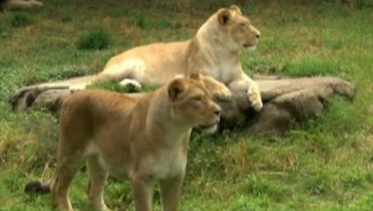 A photo taken from video show lions at the Memphis Zoo.