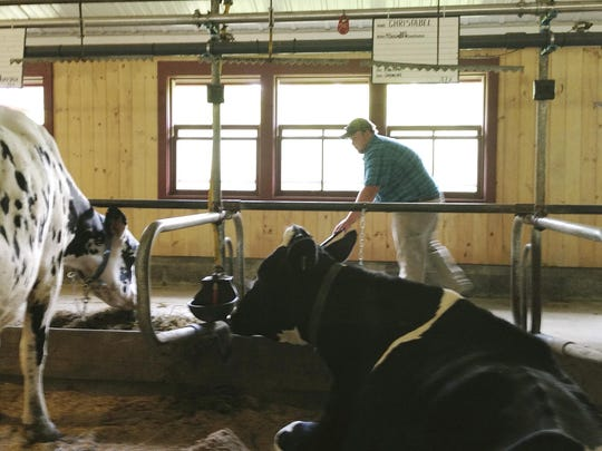 Erick Lafferty, a 2015 Vermont Technical College graduate, sweeps feed toward dairy cows at the school's new 40-stall operational dairy farm in Norwich.