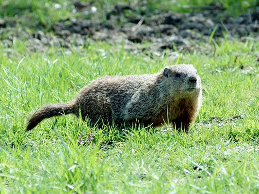 Woodchuck---Photo-by-1-1-FSDBE6ES-L754161898-IMG-Woodchuck---Photo-by-1-1-FSDBE6ES.jpg