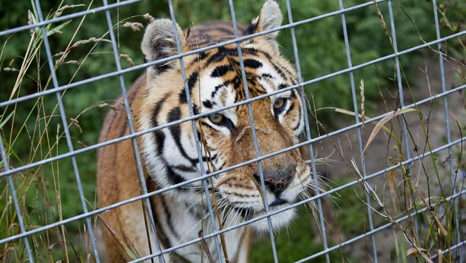 A tiger looks out from its enclosure Thursday, September 3, 2015 at Summer Wind Farms Sanctuary in Brown City.