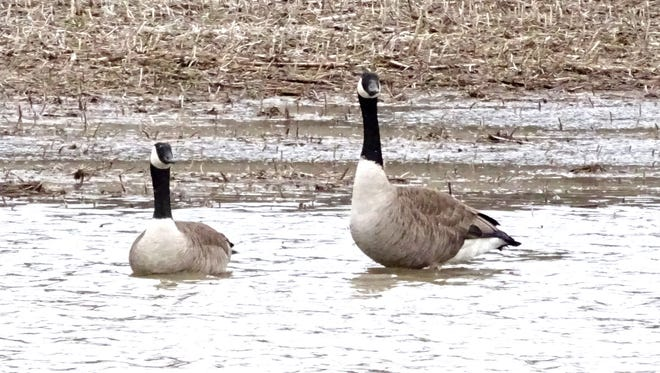 A pair of geese float around in a flooded field Wednesday along Mt. Zion Road in Richland County.