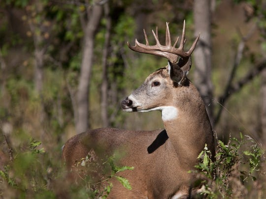 White-tailed deer, as seen here, will now be able to be hunted with fewer restrictions on private and public lands.
