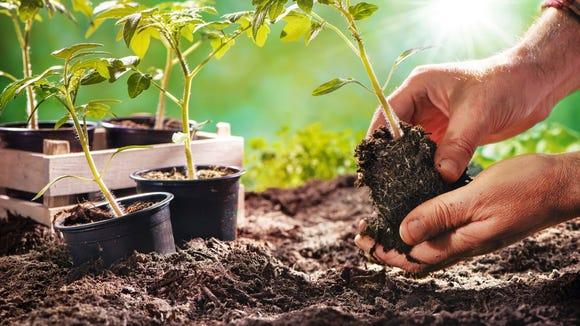 A gardener setting a plant.