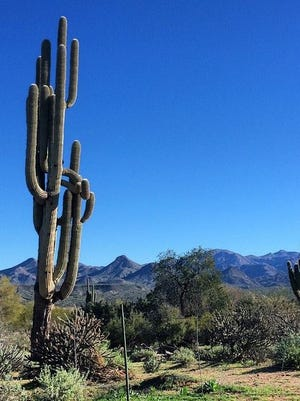 Unique and mature saguaro cacti along my ride in the Tonto National Forest Feb. 7.