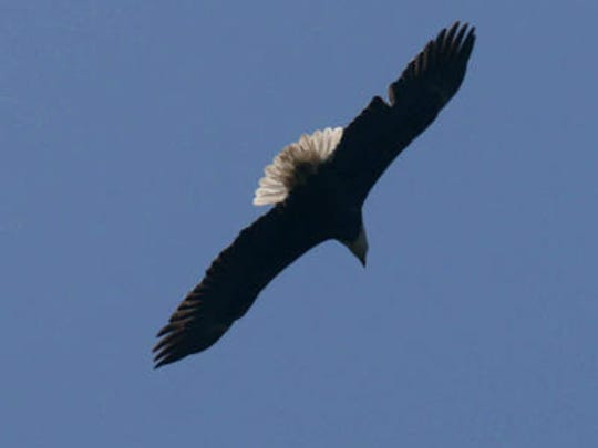 A Bald Eagle at the Red River National Wildlife Refuge