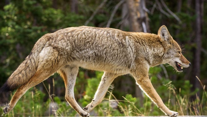 A coyote keeps pace with a car (not seen) as it runs down the road October 8, 2012 in Yellowstone National Park.