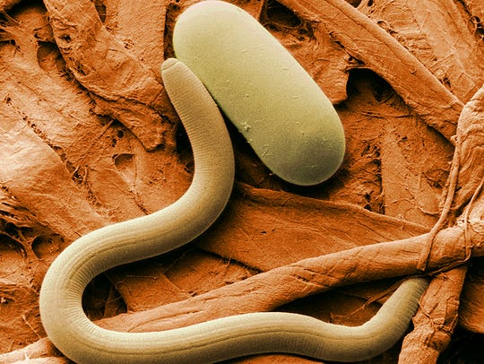 Nematodes - tiny worms that live in the soil - feed