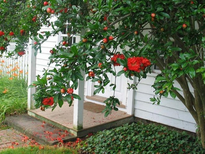 Pomegranates grow on small trees with red-orange flowers.