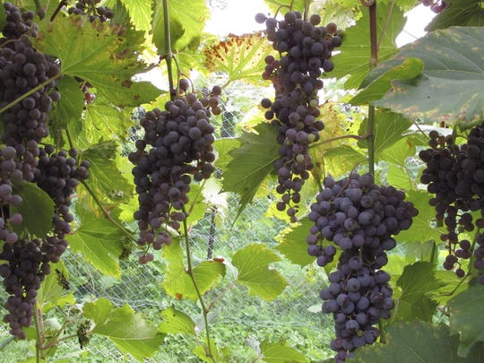 Dry Weather Vineyards (2)
