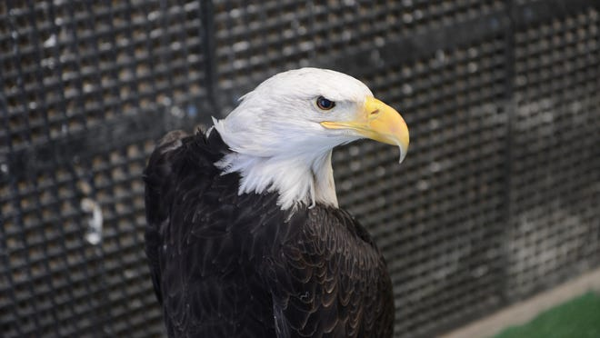Liberty, a blind bald eagle, rests in its heated, sheltered crate at the Bay Beach Wildlife Sanctuary in January.