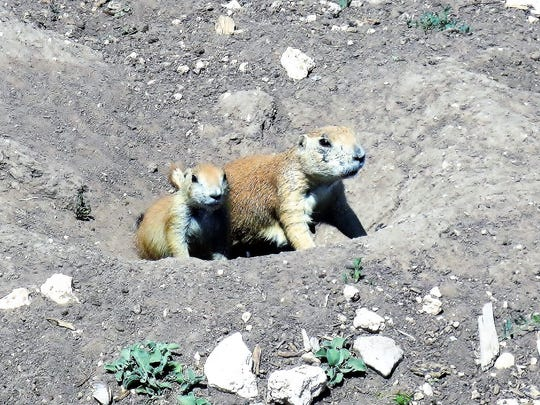 Lubbock's Prairie Dog Town is home to thousands of the burrowing rodents.